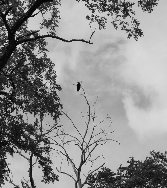 crow in tree 2