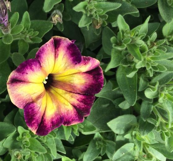 yellow purple petunia