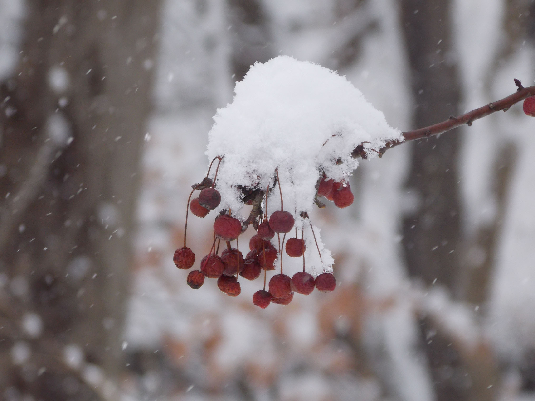 berries w snow