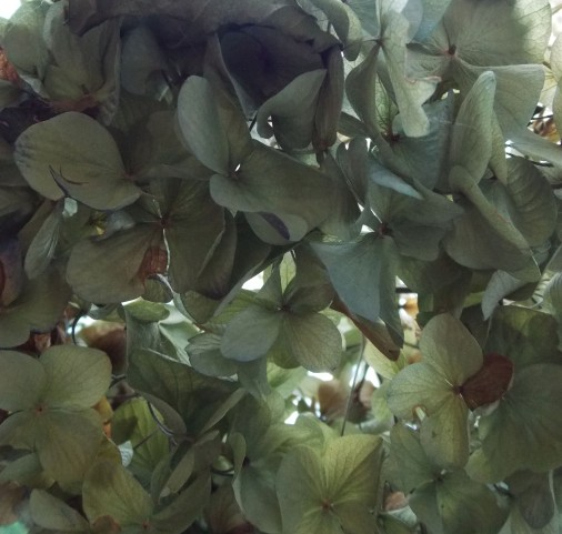 dried hydrangea2