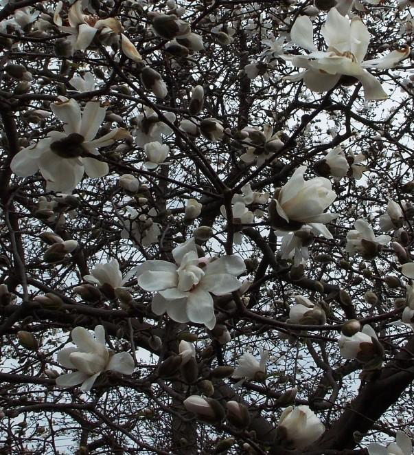 magnolia flowers