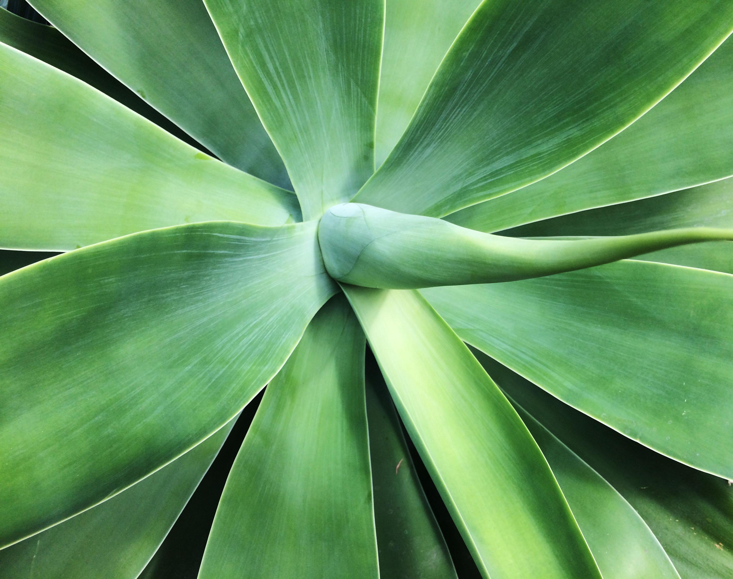 big green succulent
