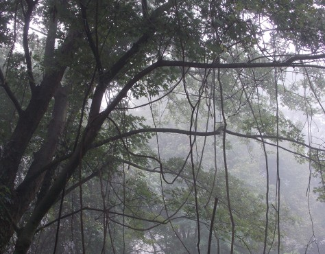 trees in fog w hanging brches