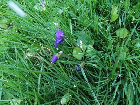 snow on violets