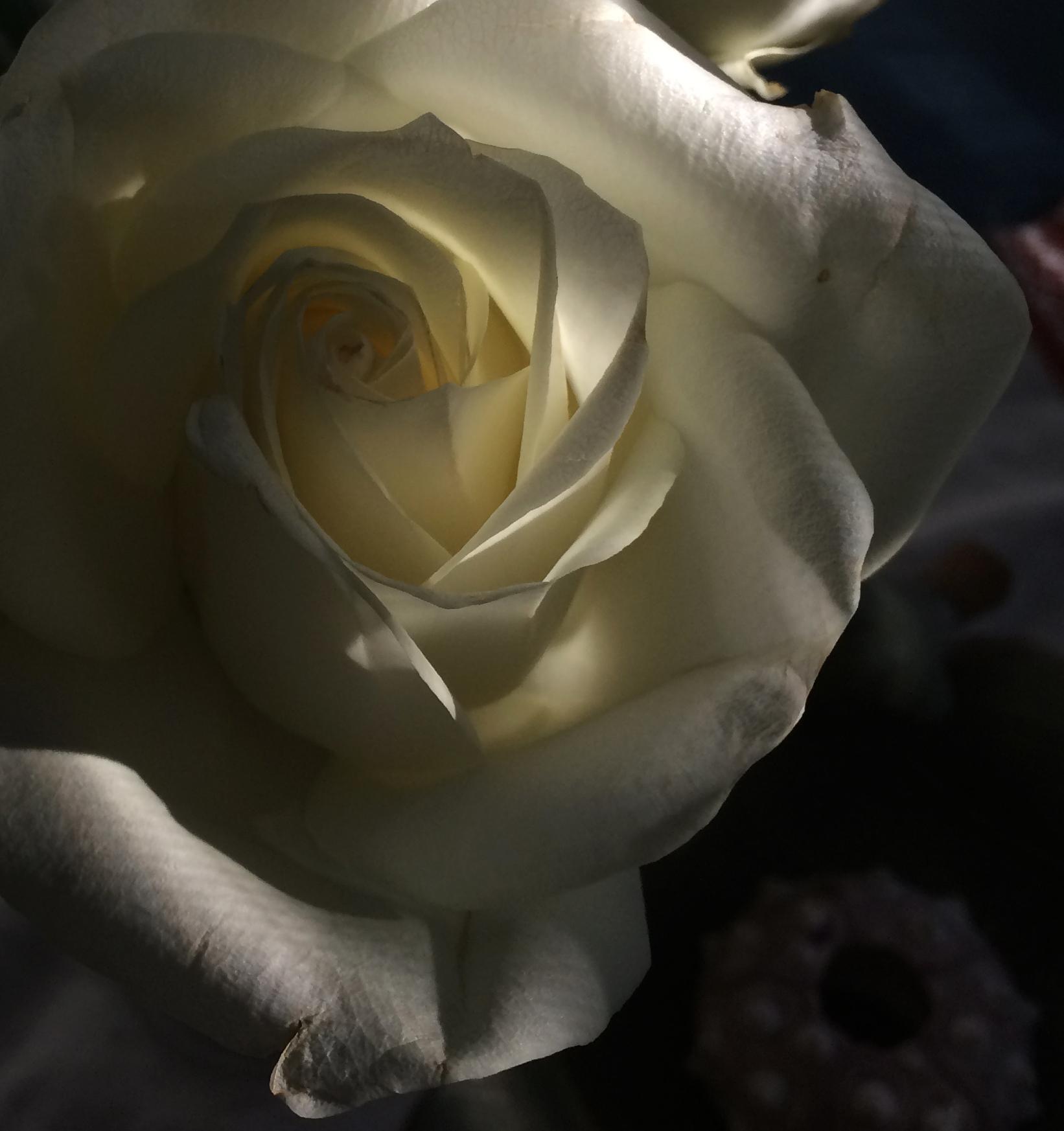 rose in the morning light